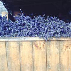 Hello Isabelle.  Lavender fields.