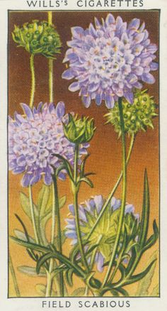 """From July to September this handsome lilac-coloured wild flower may be found growing on dry banks by the wayside and in cornfields. British Wild Flowers, Cigar Art, Collector Cards, Botanical Flowers, Flower Fairies, Old Postcards, Retro Art, Digital Collage, Flower Cards"