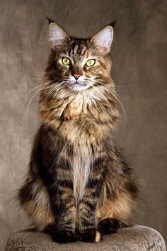 Maine Coon Cat. These are great cats, full of curiosity and personality