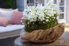 Helleborus Verboom Beauty in prachtige teakschaal, super mooi eye catcher in ieder interieur