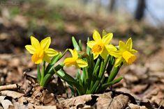 Eine der ersten, sehr farbintensiven Frühlingsboten: die Gelbe Narzisse oder die Osterglocke. In Österreich auch Märzenbecher genannt. Most Beautiful Pictures, In The Heights, Plants, Image, Daffodils, Landscape Pictures, Canvas Frame, Other, Plant