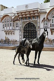 "Marwari Horses are bred in India and have the distinct ""curly cue"" ears. They are one of my favorite horse breeds!"
