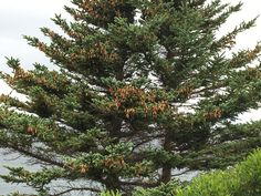 Maritime White Spruce  the tree is loaded with cones  that means plenty of seed this year. #whitespruce #treestagram #sheffieldsseed