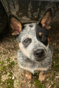 Blue Heeler, my boy Diesel :) love him