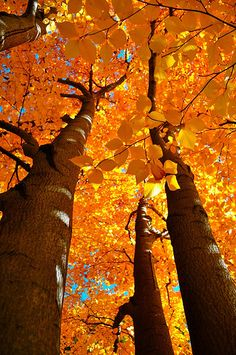 """Fall splendor"" by mnm1505 on Flickr - Autumn Arboreal Dreams, Boston, Massachusetts"