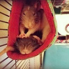 true sister love... : RATS
