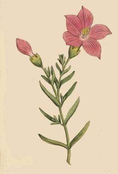 37. Chironia frutescens. Shrubby Chironia.