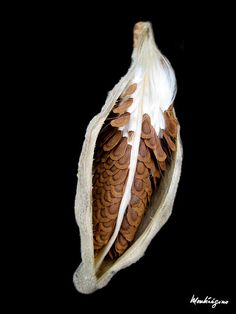 Milkweed Seed Pod - Gousse de l'Asclépiade commune / Common Milkweed - Asclépiade commune / Asclepias syriaca (Apocynaceae) ~ Nicole (monteregina) on Flickr