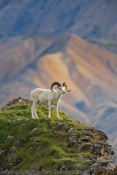 Dall sheep ram on a rock outcrop that overlooks the Polychrome mountains of the Alaska range in Denali National Park - interior - Alaska.