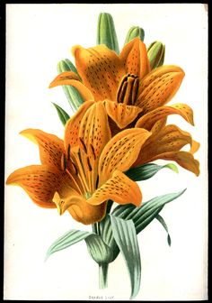 Orange Lily Vintage Botanical Print Familiar Garden Flowers Vintage Art Matted 8 X Antique Botanical Print Illustration Botanique, Plant Illustration, Botanical Illustration, Vintage Botanical Prints, Botanical Drawings, Vintage Prints, Botanical Flowers, Botanical Art, Lilies Flowers