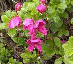 Rhododendron camtschaticum ssp camtschaticum -25