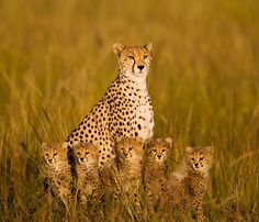 Cheetah with 5 cubs by Tony Costa (UK), via baby Animals Animals Beautiful Cats, Animals Beautiful, Beautiful Family, Cute Baby Animals, Animals And Pets, Wild Animals, Big Cats, Cats And Kittens, Gato Grande