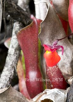 "Utricularia quelchii flower emerging from Heliamphora spp. pitcher plants, tepui ""C"", Canaima National Park, Venezuela"