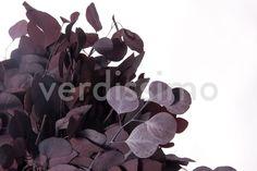 Eucalipto Popolus