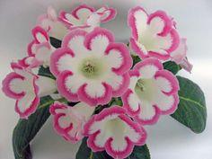 Розалинда Sinningia (gloxinia) 'Rosalind'