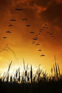 Geese flying over the duck blind