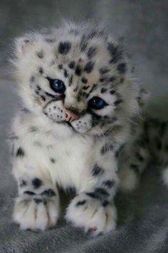 Un ourson léopard des neiges: . - A Snow Leopard Cub.: … A Snow Leopard Cub . Baby Animals Pictures, Cute Animal Pictures, Animals And Pets, Fluffy Animals, Baby Wild Animals, Small Animals, Images Of Cute Animals, Pictures Of Baby Animals, Baby Pictures