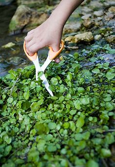 Watercress.  Ate watercress directly from the icy spring waters of the Eleven Point in Missouri.  Never forgot it.