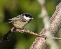 Coal Tit (Periparus ater or Parus ater) / Tannenmeise