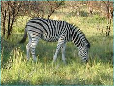 animals of africa photos | zebra from the Pilanesberg game reserve in South Africa
