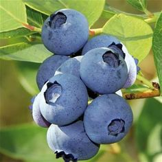 Čučoriedka kanadská ´BLUECROP´ cm, v črepníku 1 liter Blueberry Plant, Blueberry Bushes, Fruit Bushes, Fruit Trees, June Flower, Clay Soil, Plant Needs, Grow Your Own, Large Flowers