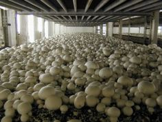 "Do You Think Mushroom Farming is Easy? At Fresh Crop Mushrooms, we occasionally hear members of the public making statements to the effect that ""mushroom farming must be easy"".Read to know more, http://www.freshcropmushrooms.com.au/mushrooms-news/do-you-think-mushroom-farming-is-easy/"