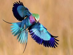 Lilac-breasted Roller in South Africa