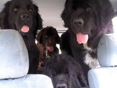 20 Signs You're A Crazy Newfoundland Person And Proud Of It - My Brown Newfies Newfoundland Puppies, Talk To Strangers, Boxer Mix, Mixed Breed, Pictures Of You, Big Dogs, Dog Love, Labrador, How Are You Feeling
