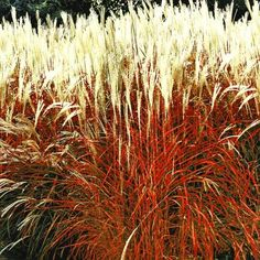 "carex ""bronze reflection"",3 pflanzen 