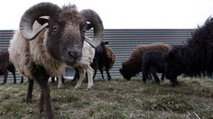 Sheep used to replace gas-guzzling lawn mowers graze at a truck warehouse at Evry, south of Paris. #green #sustainability #rmogreen