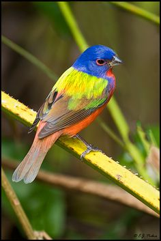 Painted Bunting by E.J. Peiker