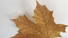 Piirretään syksyn lehtiä Leaf Tattoos, Finland, Autumn, Abstract, Artwork, Summary, Work Of Art, Fall Season, Auguste Rodin Artwork