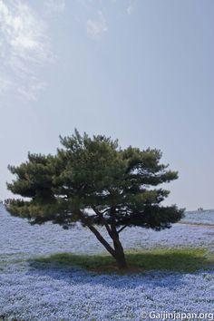 Bel arbre en plein coeur de ce parterre de fleurs bleues au Hitachi Seaside Park