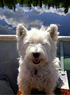 Westie Becky out fishing