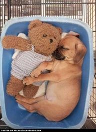 Puggle Snuggle  from APlaceToLoveDogs.com  dog dogs puppy puppies cute doggy doggies adorable funny fun silly photography