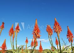 Red flowering aloes against of blue sky, floral nature background in my Adobe Stock portfolio #aloe #redflowers #southafrican #bluesky #floralbackground, #naturebackground #adobestock #adobestockcontributor Stock Portfolio, Red Flowers, Aloe, African, Victoria, Sky, Stock Photos, Explore, Floral