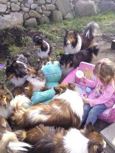 Sheltie tea party got a little out of control!