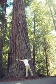 Felton, CA - The enormous redwood trees