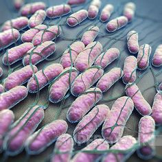 Salmonella Bacteria - These guys cause a lot of disease including the most well known typhoid fever...