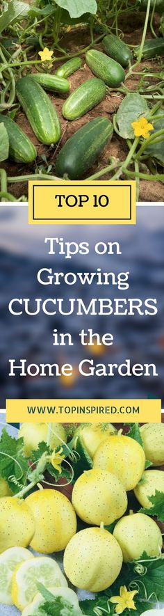 Growing cucumbers is easy. In fact, cucumbers are the second most popular vegetable grown in the home garden, ranked right after tomatoes. Learn everything you need to know to successfully grow them... #Cucumbers