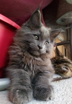 Cute Kittens Maine Coon Cat Wallpaper Added on , Tagged : Cute Kittens, Maine Coon Cat at Cute Kittens Pictures Pretty Cats, Beautiful Cats, Animals Beautiful, Kittens Cutest, Cats And Kittens, Ragdoll Kittens, Funny Kittens, Bengal Cats, White Kittens