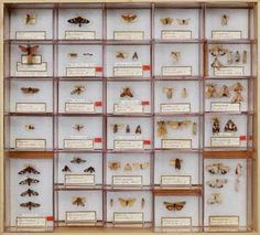 insect specimens from the Philippines and Papua New Guinea shared by researchers from the Natural History Museum of Denmark, Copenhagen with researchers from the American Museum of Natural History, 2005.