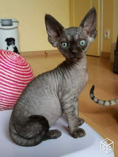 Chatons Devon Rex LOOF                                                                                                                                                                                 Plus