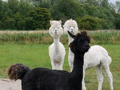 Once you go black llama, you never go back llama