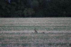 Obyvateľ našich polí - zajac - skúmavo sledoval, kým sa pohnem :)