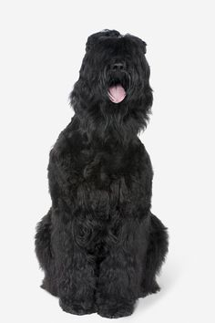 Black Russian Terrier Dogs And Puppies