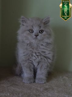 Registered British shorthair blue and lilac kittens, also one lilac longhair boy…
