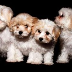 Dogs are said to be some of the best pets to keep. As a matter of fact, they are referred to as man's best friends. There are many breeds of dogs Havanese Puppies, Teacup Puppies, Baby Puppies, Cute Puppies, Cute Dogs, Dogs And Puppies, Doggies, Animals And Pets, Baby Animals