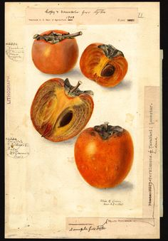 Lower, Elsie E., b. 1882 Scientific name: Diospyros Common name: persimmons
