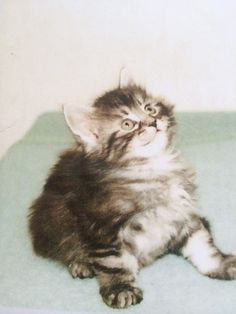 My little Maine Coon born  on the 29 nov 1994